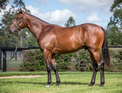 Lot 498 – Hinchinbrook x Velasco – Colt