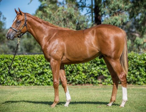 Lot 377 – Zoustar x Thinking of You (NZ) – Colt